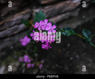 Small flowers blooming at spring garden in Paro, Bhutan. - Stock Photo