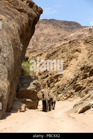 African elephant (Loxodonta africana), Desert dwelling elephant, Hoanib River, Namibia, November 2014 - Stock Photo