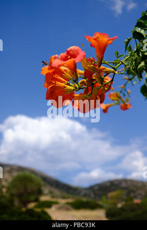 Cluster of Red n orange Campsis Radicans ( trumpet vine ) of the family Bignoniaceae with a busy bee hovering. Saronida, East Attica, Greece, Europe. - Stock Photo
