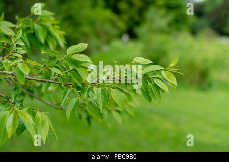 date plum tree from china in park with fresh green leaves - Stock Photo