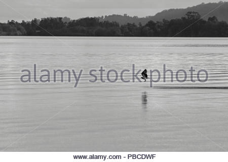 An Eastern Osprey(Pandion cristatus) flying low over the Clarence River water - a black-and-white image - taken from Goodwood Island, NSW, Australia. - Stock Photo