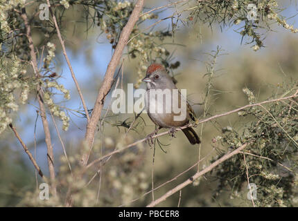 Green-tailed Towhee November 11th, 2015 Tanque Verde Wash, Tucson, Arizona Canon 70D, 400 5.6L Stock Photo