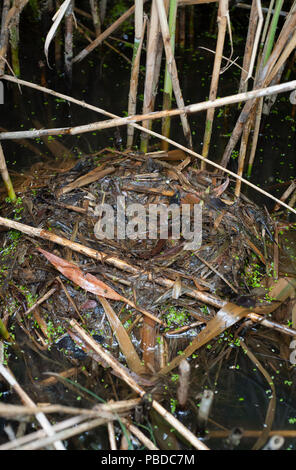 Floating nest in reed bed, belonging to Little Grebe,(Tachybaptus ruficollis), also known as Dabchick, Walthamstow Reservoirs, British Isles - Stock Photo