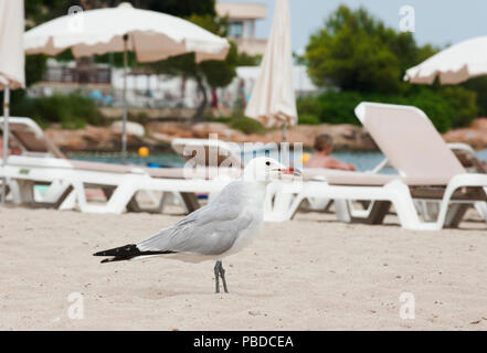 Audouin's Gull, (Ichthyaetus audouinii), looking for food scraps on Es Canar beach, Ibiza Island, Balearic Islands, Mediterranean Sea, Spain, Europe - Stock Photo