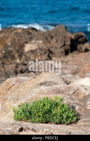 north eastern coast of Ibiza Island, Rock Samphire shrubs on rocks, Balearic Islands, Mediterranean Sea, Spain, Europe - Stock Photo