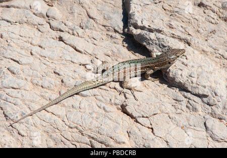 Ibiza Wall Lizard, (Podarcis pityusensis), on rocks on the east coast of Ibiza Island, Balearic Islands, Mediterranean Sea, Spain - Stock Photo