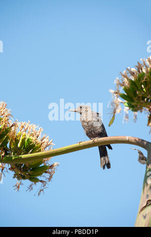 female Blue Rock Thrush, (Monticola solitarius), perched in Agave americana plant,  Ibiza, Balearic Islands, Mediterranean Sea, Spain - Stock Photo