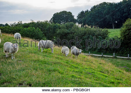 A flock of Walachian sheep graze the Dannevirke rampart that encircles the site of the ancient Viking market town of Haithabu (AKA Haddeby, Hedeby). - Stock Photo
