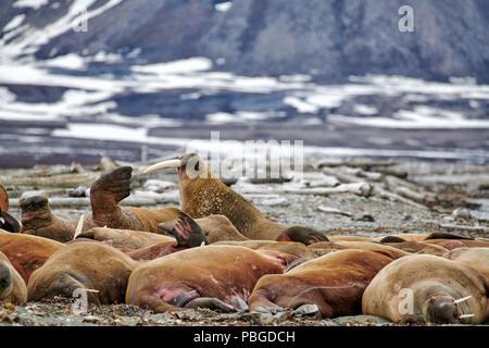 walrus, Odobenus rosmarus, Poolepynten, Svalbard or Spitsbergen, Europe - Stock Photo