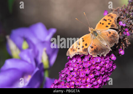 A Question Mark Butterfly perched on some butterfly bush - Stock Photo