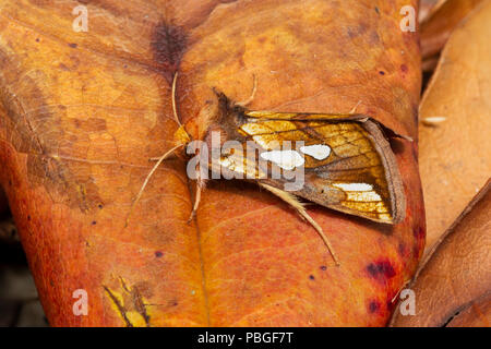 Gold Spot moth, Plusia festucae, family Noctuidae, July, Monmouthshire - Stock Photo