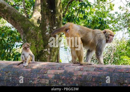 Adult and baby Rhesus macaque (Macaca Mulatta) monkeys at the grounds of Sankhu Bajrayogini Temple, Sankhu, Nepal - Stock Photo