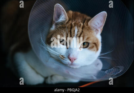 closeup portrait of a ginger tabby cat wearing an Elizabethan collar after a fight - Stock Photo