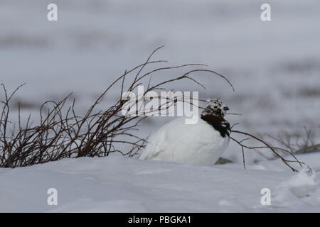 Adult male rock ptarmigan, Lagopus mutus, sitting in snow with willow branches in the background, Arviat, Nunavut, Arctic Canada - Stock Photo