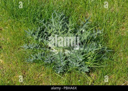 Rosette of leaves of a young spear thistle, Cirsium vulgare, in a young lawn, Berkshire, April - Stock Photo