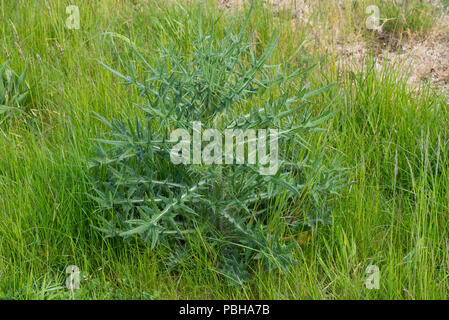 A spear thistle, Cirsium vulgare, weed plant at stem extension growing in a meadow pasture, Berkshire, April - Stock Photo