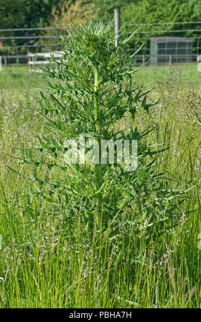 A spear thistle, Cirsium vulgare, weed plant at stem extension growing in a meadow pasture, Berkshire, April