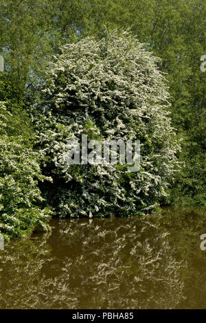 A white flowering hawthorn or may tree, Crataegus monogyna, on the bank of the Kennet and Avon Canal at Hungerford - Stock Photo