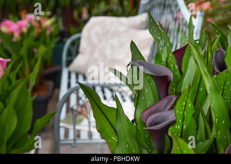 Calla Lily. Zantedeschia Starry Night against backdrop of a white bench and other flowers - Stock Photo