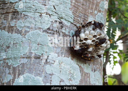 Wasp nest with wasps sitting on the tree. - Stock Photo