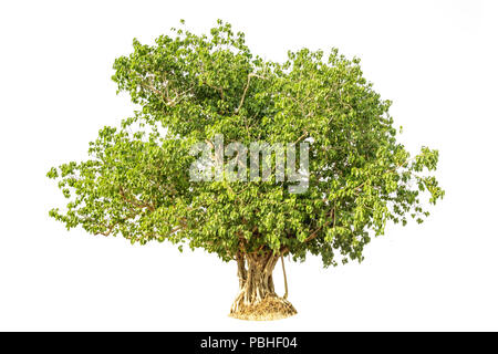 Bodhi Tree isolated against a over white background - Stock Photo