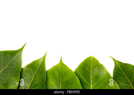 Bodhi leaves on a over white background. - Stock Photo
