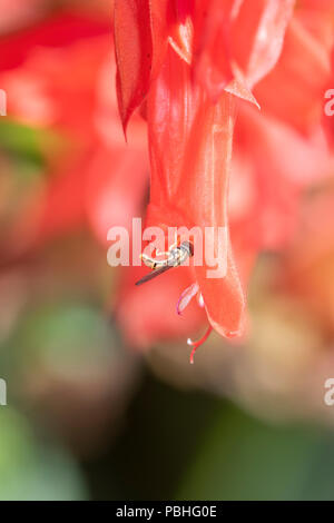 Macro of a Hoverfly (Toxomerus Marginatus) Collecting Pollen on a Bright Red Flower - Stock Photo