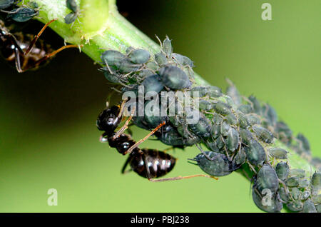 Black Garden Ants (Lasius niger) 'farming' aphids for the sweet sticky 'honeydew' they secrete - Stock Photo