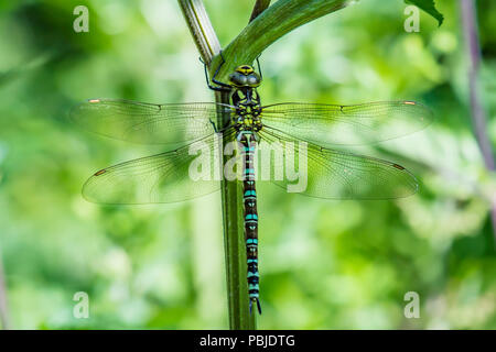 Emperor dragonfly, anax imperator sitting on plant stamen with natural blurred and green background.Large dragonfly specie.Vibrant colors of nature. - Stock Photo