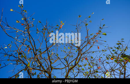 Japanese persimmon tree (kaki) with fruits grow in a garden. - Stock Photo