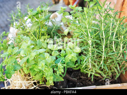 Herbs in plant pots closeup - Stock Photo