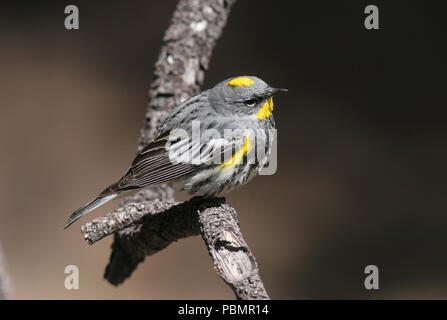 Yellow-rumped Warbler - Audubon's Form May 2nd, 2008 Bryce Canyon National Park, Utah - Stock Photo