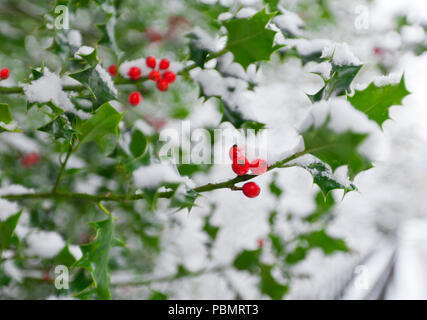Winter holly bush with red berries covered in snow. Very shallow depth of field with focus on lowest red berry. - Stock Photo