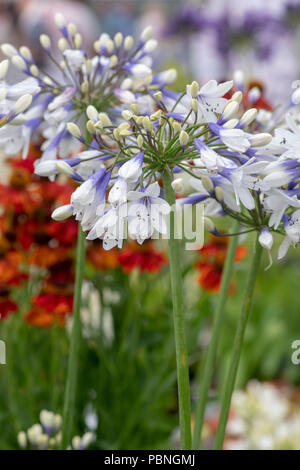 Agapanthus  africanus 'Twister'.  African Blue lily flowers at RHS Tatton park flower show 2018, Cheshire. UK - Stock Photo