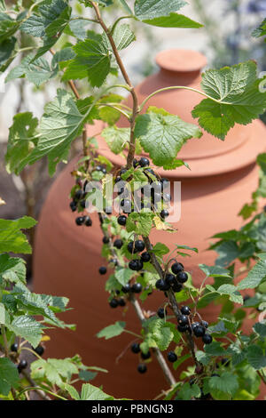 Ribes nigrum. Blackcurrant fruit on a bush. England - Stock Photo