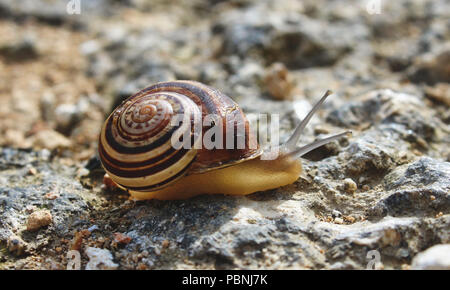 Snail with brown and white shell, pictured close-up on the ground, crawling on a rural path - Stock Photo