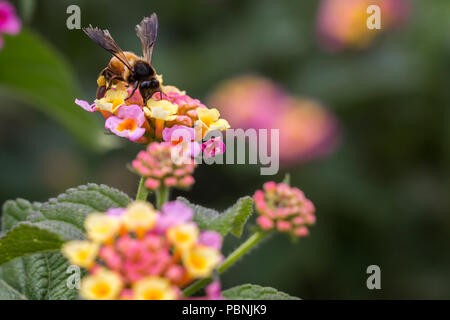 bee on lantana camara flower - big sage - wild sage - red sage - tickberry - Stock Photo