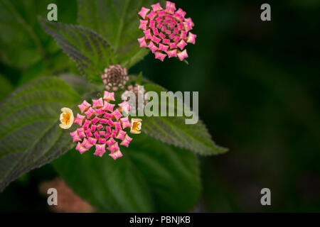lantana camara flower - big sage - wild sage - red sage - tickberry - Stock Photo