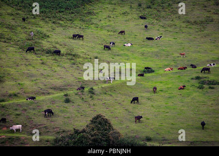 scenic grassland - cow graze - dream landscape - scenic landscape - beautiful - landscape - cattle graze on the open meadows - Stock Photo