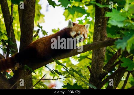 Stubenberg am See, Styria - Austria 07.08.2018: Red panda on tree in zoo Austria Steiermark Herberstein Styria tourist destination Stubenberg am See - Stock Photo
