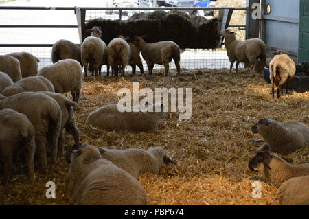A flock of sheep feeding on hay in a barn at Bockett's Farm in Surrey, UK - Stock Photo