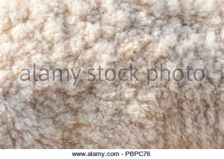 Wool soft sheep surface close up texture - Stock Photo