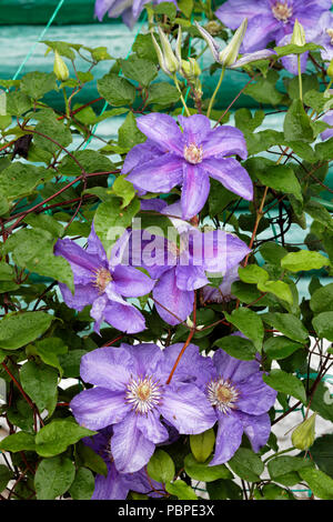 Clematis plant with purple flowers climbing wall of log house. Kaluga region, Russia. - Stock Photo