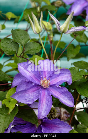 Close up of clematis plant with purple flowers. Kaluga region, Russia. - Stock Photo