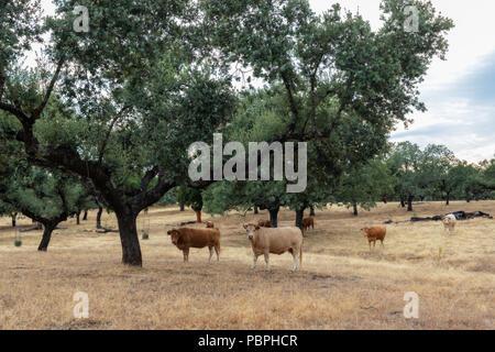 Cattle grazing in a meadow near Guijo de Galisteo. Extremadura Spain. - Stock Photo