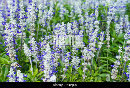 Mealycup Sage, AKA Mealy Sage (Salvia farinacea 'Strata'), a Summer bedding perennial plant, in a flower bed in Summer, in West Sussex, England, UK. - Stock Photo