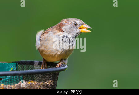 Adult male House Sparrow (Passer domesticus) perched on a bird feeder in early Autumn in West Sussex, England, UK. - Stock Photo