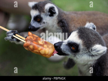 Qingdao, China's Shandong Province. 28th July, 2018. Ring-tailed lemurs eat a piece of frozen fruits to cool off from hot weather at Qingdao Forest Wildlife World in Qingdao, east China's Shandong Province, July 28, 2018. Credit: Yu Fangping/Xinhua/Alamy Live News - Stock Photo