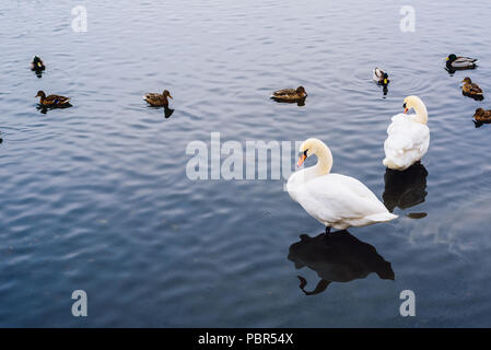 Two Swans stand in Water and Ducks Swim on Backdrop.Copy Space on the Left Side. - Stock Photo