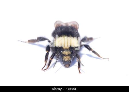 Yellow-faced Bumblebee (Bombus vosnesenskii)  Common bumble bee of Northwestern US, close-up portrait - Stock Photo